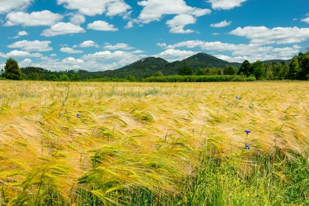 Vue rapprochée sur le champ de blé et les montagnes sur backgorund dans le sud de la pologne