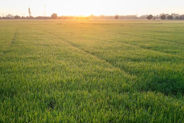 Vue rapprochée de la croissance des rizières au jasmin biologique le matin à la campagne en thaïlande, arrière-plan flou