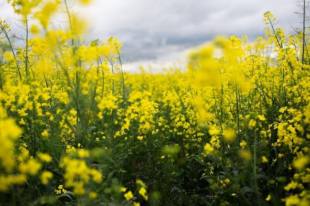 Vue rapprochée du champ de fleurs de colza en jour de pluie avec ciel nuageux. fond naturel.