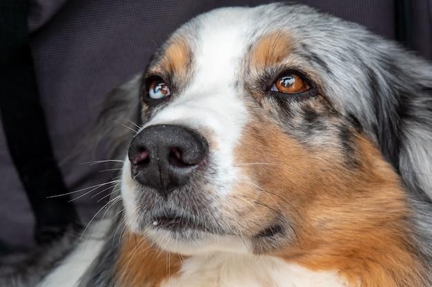 Vue rapprochée du chien avec des yeux de couleurs différentes