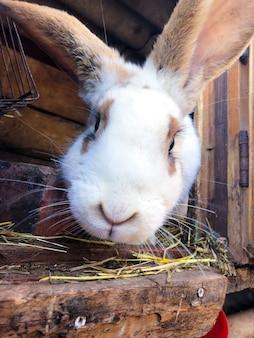 Vue rapprochée du lapin de ferme européenne à la recherche dans la caméra.