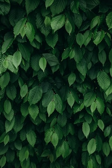 Vue rapprochée du motif de feuilles de buisson naturel vert foncé. fond vertical.