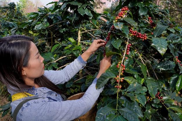 Vue rapprochée d'un fermier ramasse des grains de café frais d'arbres arabica cultivés sur les hautes terres du district de mae wang, dans la province de chiang mai.