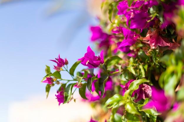 Vue rapprochée d'une feuille verte nature avec des fleurs violettes hibiscus syriacus contre un ciel bleu