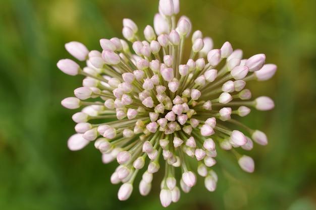 Vue rapprochée de la flèche d'oignon en fleurs avec un arrière-plan flou vert. vue de dessus. faible profondeur de champ.