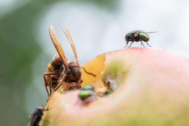 Vue rapprochée d'un gros frelon mangeant une pomme poussant sur un arbre.