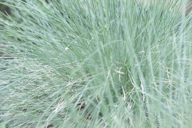 Vue rapprochée d'herbe ornementale avec des brins d'herbe séchée et fraîche