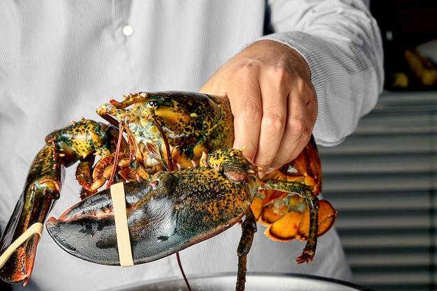 Vue rapprochée sur le homard de boston vivant dans la main du chef-cuiseur homard cru frais