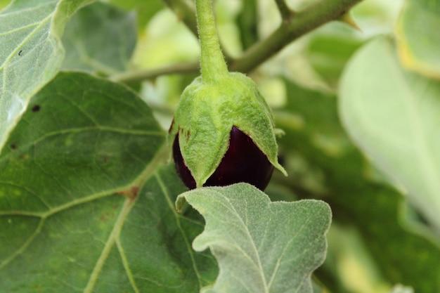 Une vue rapprochée de la jeune aubergine (brinjal).