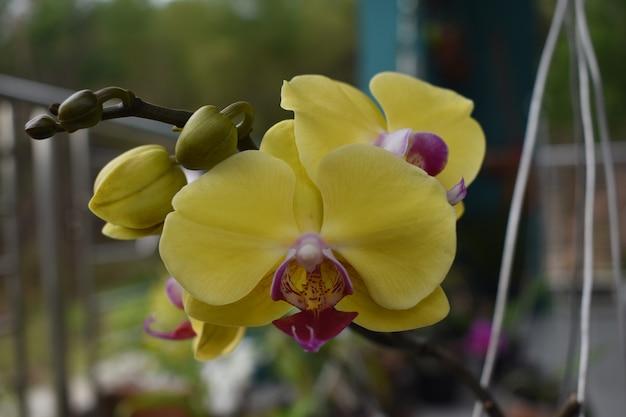 Vue rapprochée de la lune hybride d'orchidée jaune phalaenopsis dans le pot