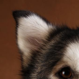Vue rapprochée à l'oreille du chien de race malamute d'alaska sur brun.
