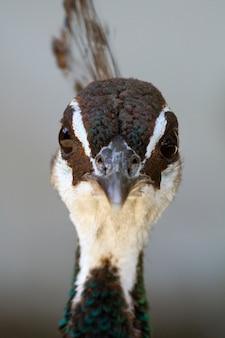 Vue rapprochée d'un paon femelle (pavo cristatus).