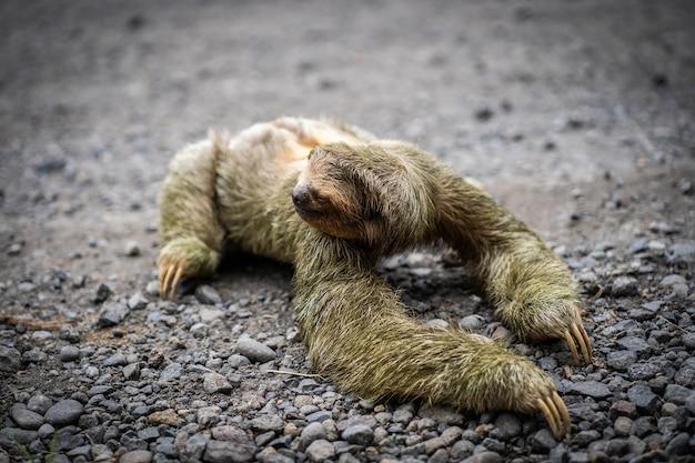Vue rapprochée d'un paresseux traversant une route tropicale. la faune au costa rica