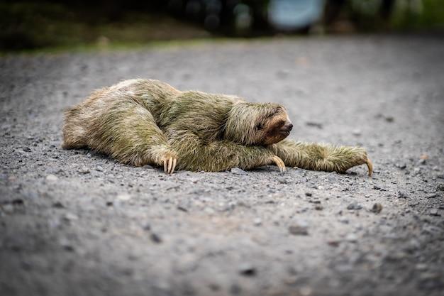Vue rapprochée d'un paresseux traversant un sentier tropical. la faune au costa rica