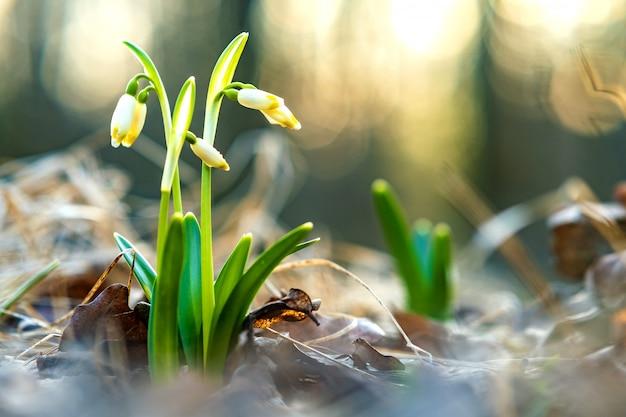 Vue rapprochée de petites fleurs de perce-neige fraîches poussant parmi les feuilles sèches en forêt.