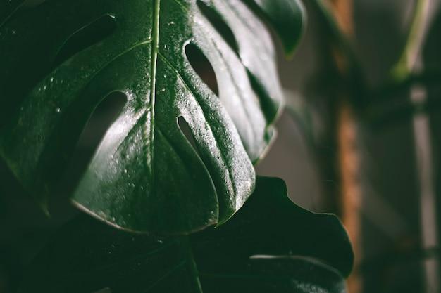 Vue rapprochée de la plante des feuilles de monstera à la maison