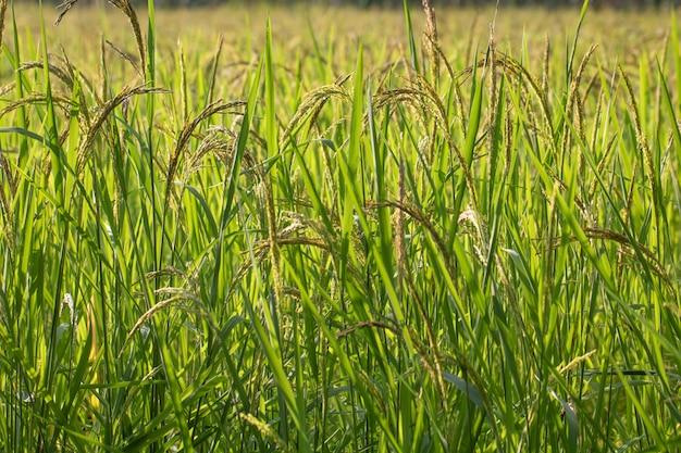Vue rapprochée de la rizière dans les rizières en terrasses de thaïlande