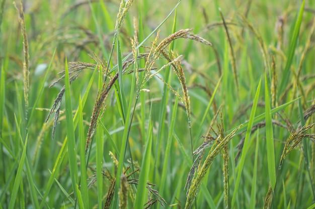 Vue rapprochée de la rizière dans les rizières en terrasses de la thaïlande