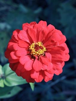 Vue rapprochée d'une tête de fleur de zinnia dans le fond naturel flou.