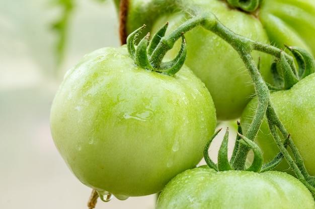 Vue rapprochée de la tomate verte non mûre poussant sur la branche dans la serre avec arrière-plan flou. faible profondeur de champ.