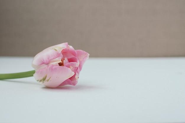 Vue rapprochée de la tulipe simple rose sur l'espace de copie de fond de contraste