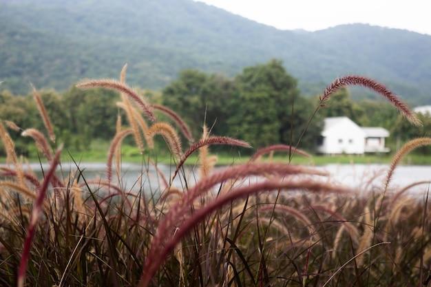 Vue relaxante de la fleur d'herbe de roseaux, stock photo