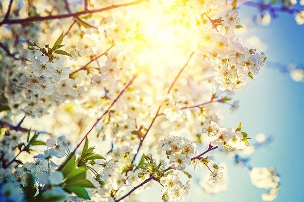 Vue sur le soleil tanslucent à travers les branches de cerisier avec floraison fleurs mur floral