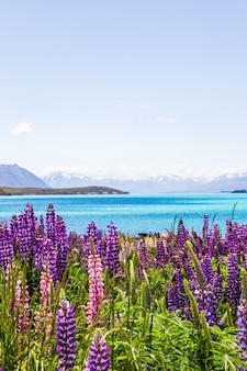 Vue sur les sommets enneigés des alpes du sud avec beaucoup de fleurs violettes