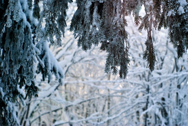 Vue sous l'épinette à travers les branches gelées dans la forêt d'hiver du soir