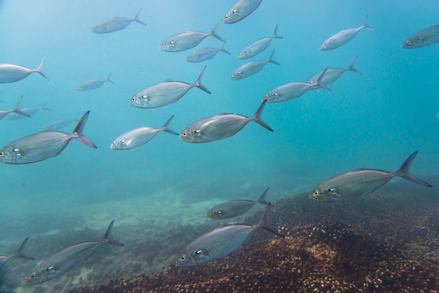Vue sous-marine de l'école de poisson, ixtapa, guerrero, mexique