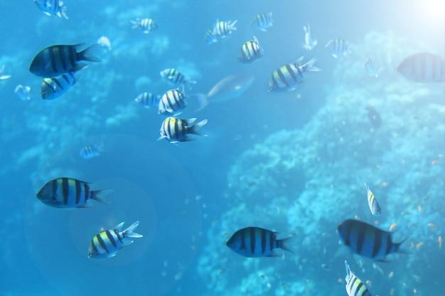Vue sous-marine de l'école de poissons maquereau se nourrissant de plancton sous la surface de la mer rouge