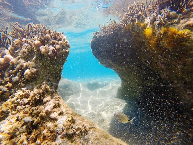 Vue sous-marine de la mer ionienne avec la dorade selle oblada melanura