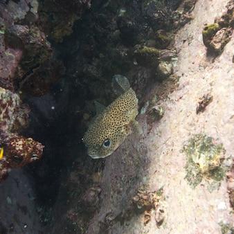 Vue sous-marine d'un poisson tacheté, ixtapa, guerrero, mexique