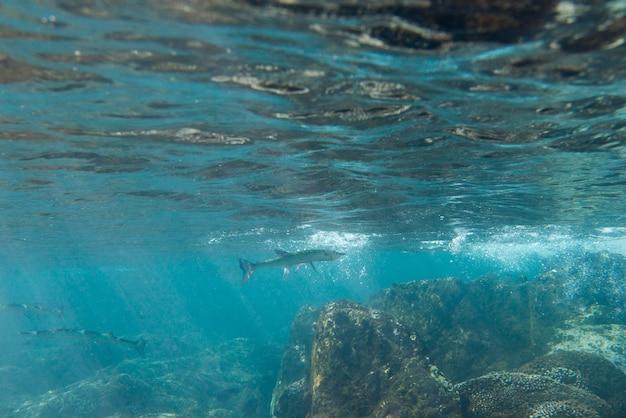 Vue sous-marine d'un poisson, zihuatanejo, guerrero, mexique