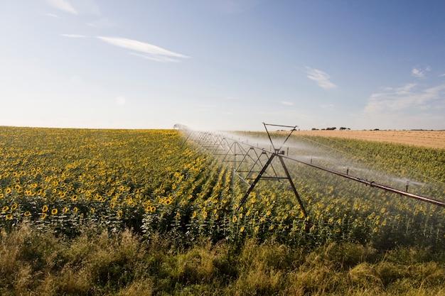 Vue d'un système d'irrigation actif arrosant un champ de tournesol.