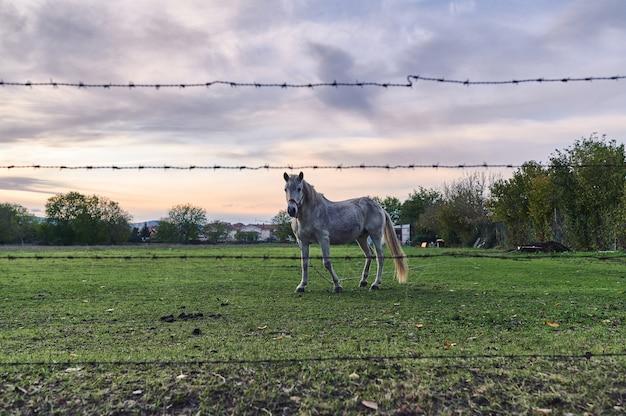 Vue à travers une clôture en fil de fer barbelé floue d'un vieux cheval blanc attaché avec une chaîne avec un beau fond coucher de soleil
