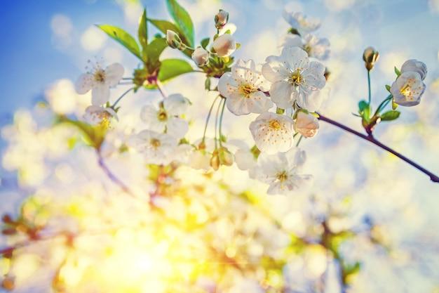 Vue très rapprochée fleurs de cerisier en fleurs avec mur floral soleil translucide