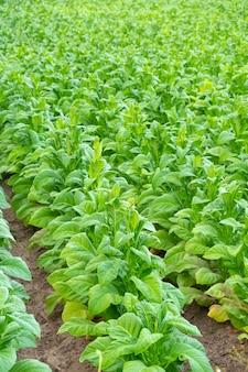 Vue de l'usine de tabac vert dans le champ à chiang rai, thaïlande plantations de tabac en asie.