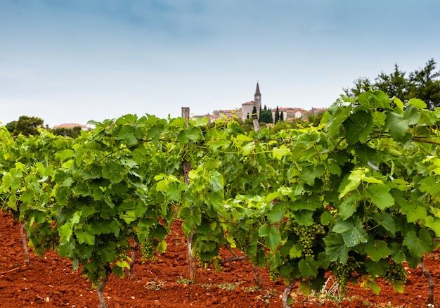 Vue des vignes dans la campagne d'istrie