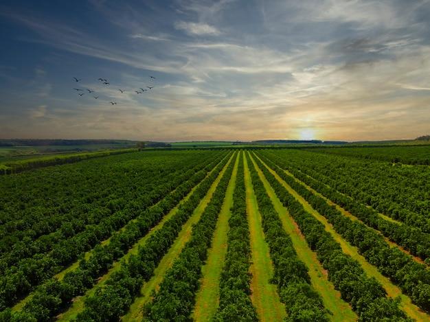 Vues aériennes au-dessus des rangées d'orangers en plantation.
