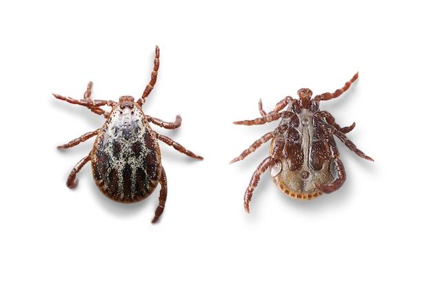 Vues de dessus et de dessous d'un acarien mâle isolé sur fond blanc avec des ombres