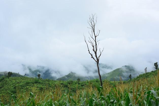 Vues sur la montagne et champs de maïs lumineux. le jour de la rosée montagnes et beau ciel maïs
