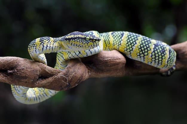 Wagler Pit Viper, Serpents Venimeux, Tropidolaemus Wagleri Photo Premium