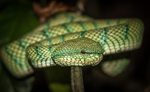 Waglers pit viper à bornéo, malaisie