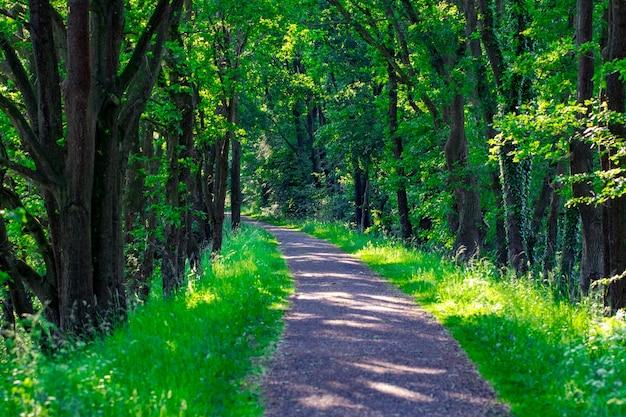 Walkway lane path avec des arbres verts en forêt. belle ruelle, route dans le parc. chemin à travers la forêt d'été.