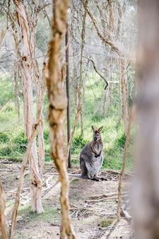 Wallaby debout