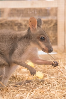 Wallaby ou mini kangaroo