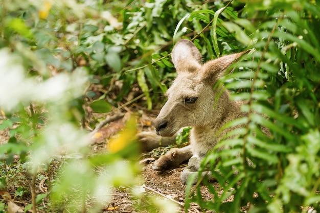 Wallaby relaxant. parc naturel avec kangourou en journée ensoleillée. singapour