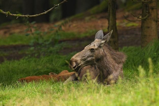 Wapiti eurasien dans l'habitat forestier