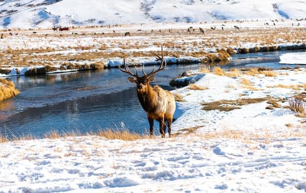 Wapiti d'hiver à elk refuge, jackson hole, wyoming